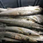 夜のカマス釣り三重県情報