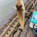 濁りの中でも入れ食いです松阪港キス釣りへ